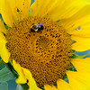 Sunflower037g