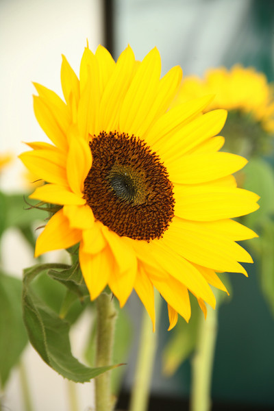Helianthus annuus, or common sunflower. The name is from the Greek, helios, which means sun, and anthos, which means flower. The common sunflower is an important economic plant.