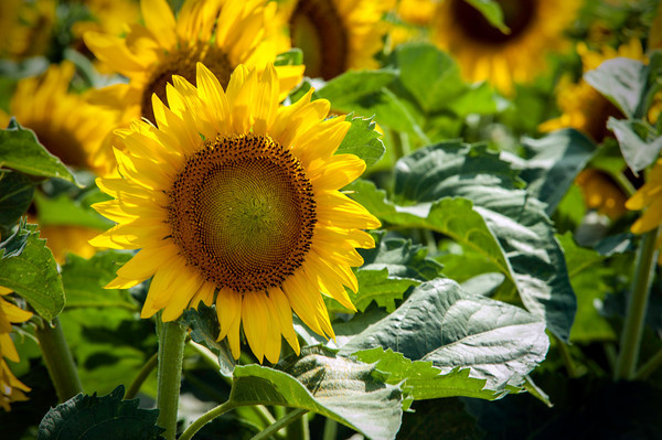 Sunflowers 2013