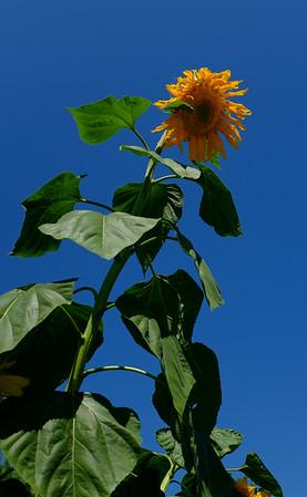 Sunflowers, 2014
