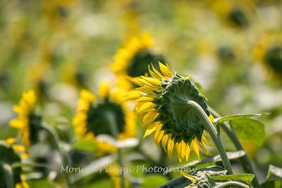 Sunflowers 2 Aug 2017 -3113