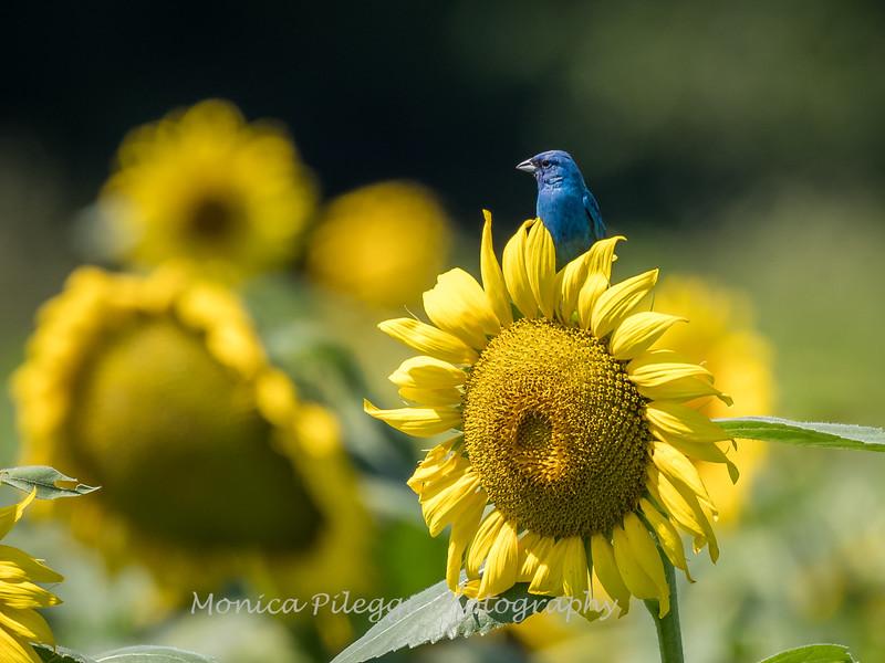 Sunflowers 2 Aug 2017 -3174