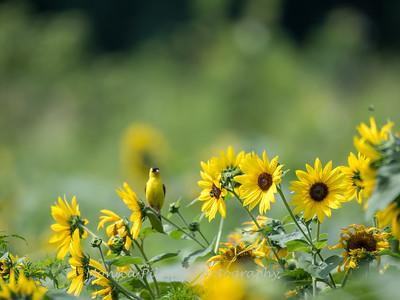 Sunflowers 2 Aug 2017 -3085