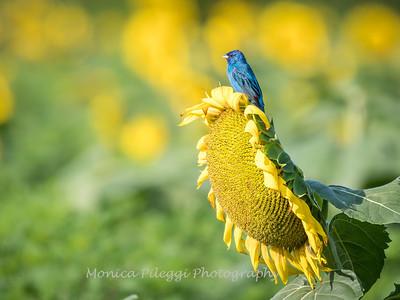 Sunflowers 3 Aug 2017 -3365