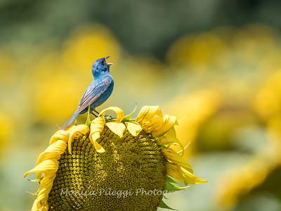 Sunflowers 2 Aug 2017 -3272
