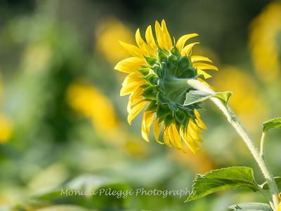 Sunflowers 3 Aug 2017 -3394