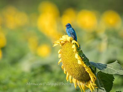 Sunflowers 3 Aug 2017 -3379