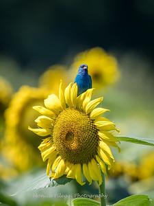 Sunflowers 2 Aug 2017 -3176