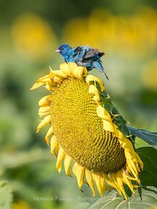 Sunflowers 3 Aug 2017 -3385