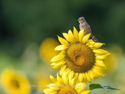 Sunflowers 3 Aug 2017 -3408