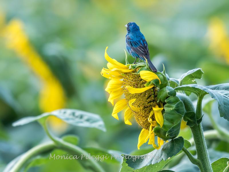 Sunflowers 3 Aug 2017 -3465