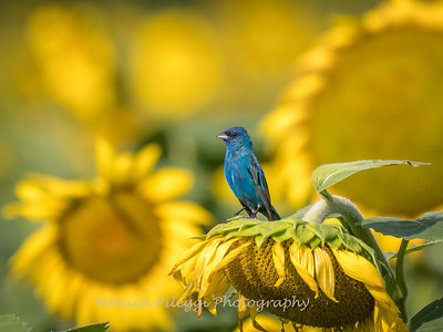 Sunflowers 3 Aug 2017 -3458