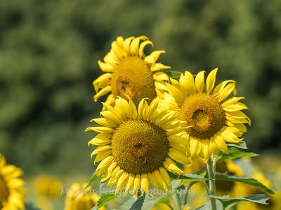 Sunflowers 2 Aug 2017 -3100