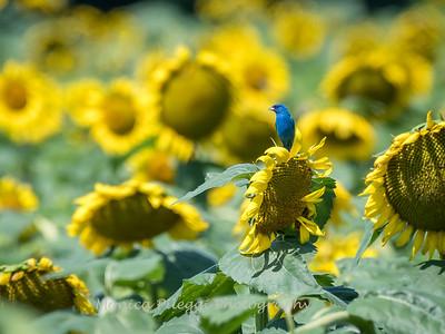 Sunflowers 2 Aug 2017 -3120