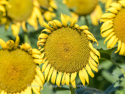 Sunflowers 19 July 2018-1783