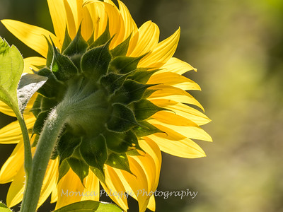 Sunflowers 19 July 2018-1807