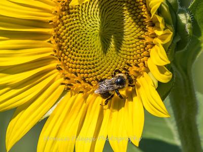 Sunflowers 10 July 2018-1513