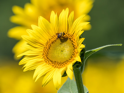 Sunflowers 10 July 2018-1485