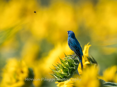 Sunflowers 10 July 2018-1509