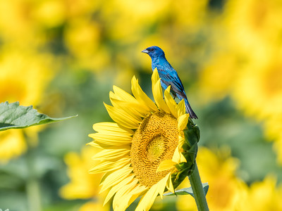 Sunflowers 10 July 2018-1364