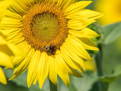 Sunflowers 10 July 2018-1488