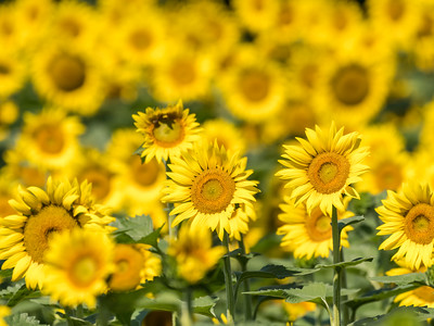 Sunflowers 10 July 2018-1376