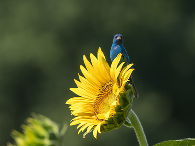 Sunflowers 10 July 2018-1407