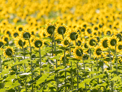 Sunflowers 10 July 2018-1350