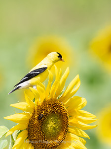 Sunflowers 28 July 2018-2480