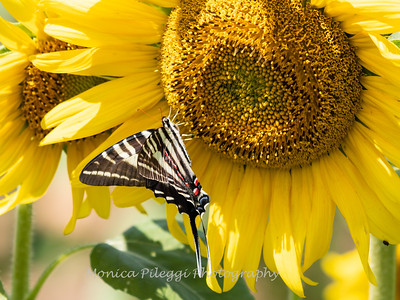 Sunflowers 28 July 2018-2574