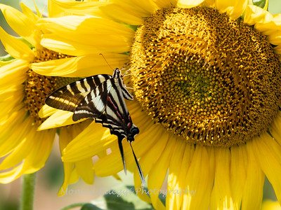 Sunflowers 28 July 2018-2576