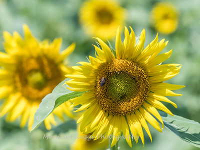Sunflowers 28 July 2018-2499