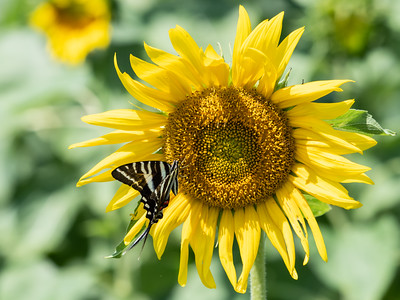 Sunflowers 28 July 2018-2493
