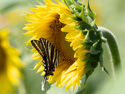 Sunflowers 28 July 2018-2558