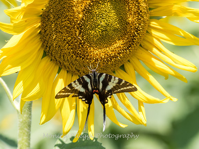 Sunflowers 28 July 2018-2528