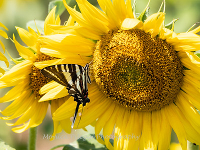 Sunflowers 28 July 2018-2577