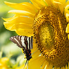 Sunflowers 28 July 2018-2534