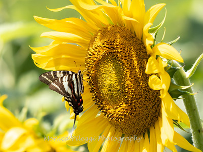 Sunflowers 28 July 2018-2535
