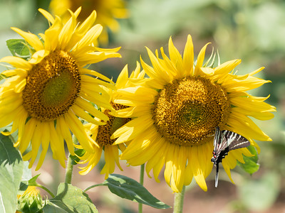 Sunflowers 28 July 2018-2569