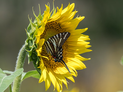 Sunflowers 28 July 2018-2550