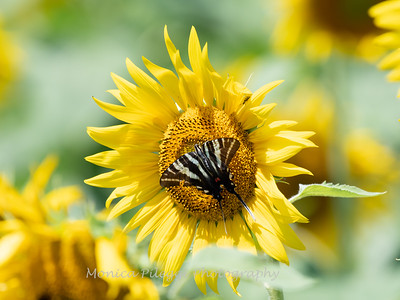 Sunflowers 28 July 2018-2507