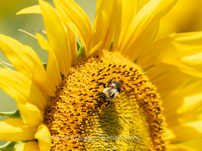 Sunflowers 28 July 2018-2538