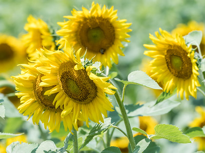Sunflowers 28 July 2018-2497