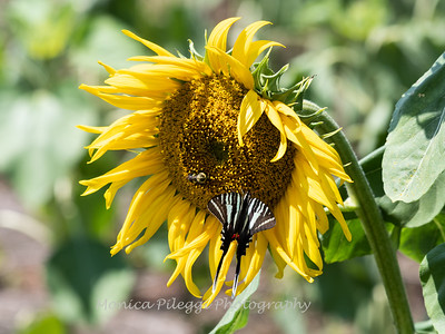 Sunflowers 28 July 2018-2588