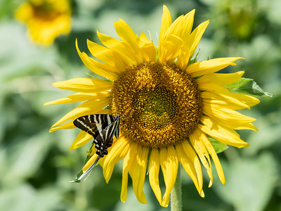 Sunflowers 28 July 2018-2492