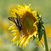 Sunflowers 28 July 2018-2552