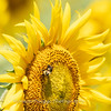 Sunflowers 28 July 2018-2540