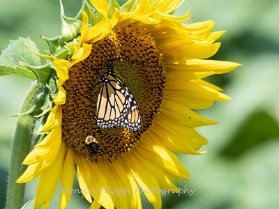 Sunflowers 28 July 2018-2513