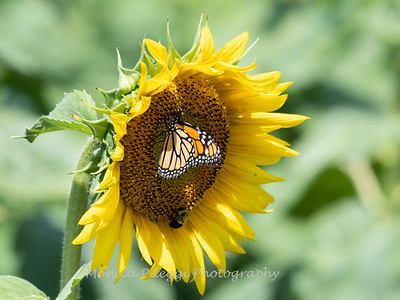 Sunflowers 28 July 2018-2515