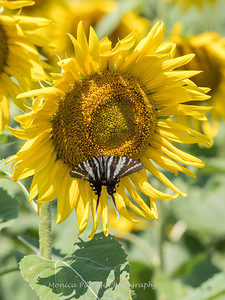 Sunflowers 28 July 2018-2529